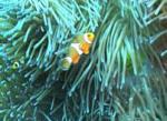 Nemo & Familiy, Anemonenfische in freier Natur